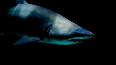 Photo of سمك القرش في المنام