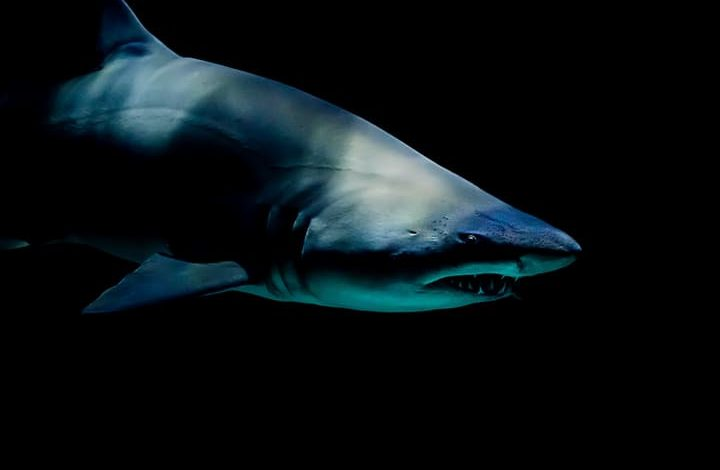 سمك القرش في المنام