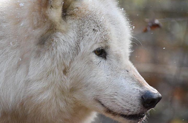 رؤية الذئب يهاجم في المنام