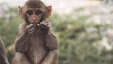 Photo of رمز القرد الصغير في المنام