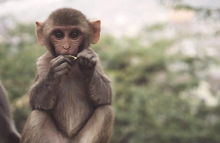 رمز القرد صغيرفى المنام