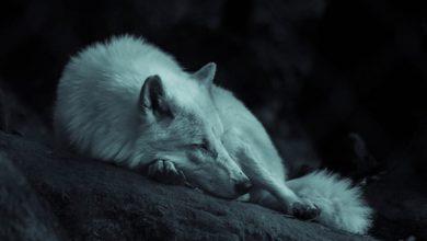 Photo of رمز الذئب فى المنام
