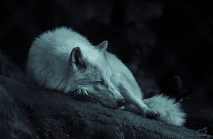 رمز الذئب فى المنام