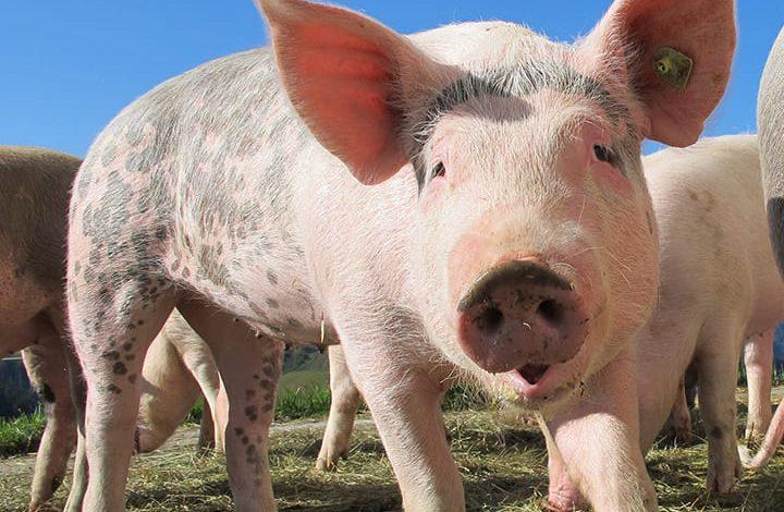 رمز الخنزير فى المنام