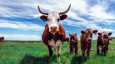 رمز البقرة فى المنام