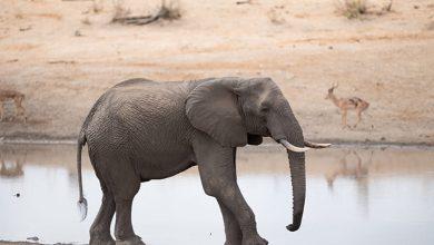 رمز الفيل للمتزوجه فى المنام