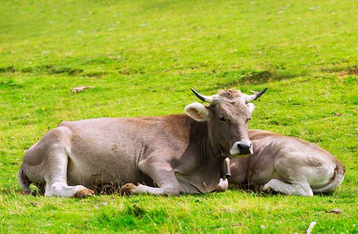 ولادة البقرة في المنام