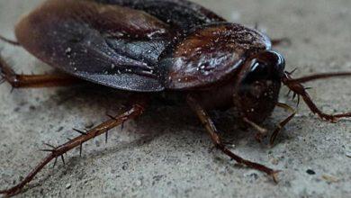 تفسير حلم الصراصير تخرج من الفم