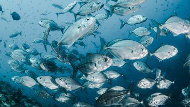 Photo of رؤية إعطاء السمك في المنام