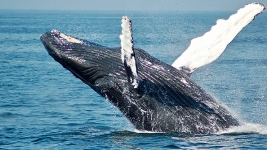 تفسير رؤية الحوت الأسود في المنام للعزباء