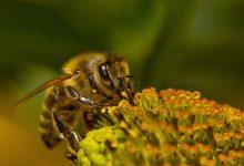 Photo of النحل الأصفر في المنام
