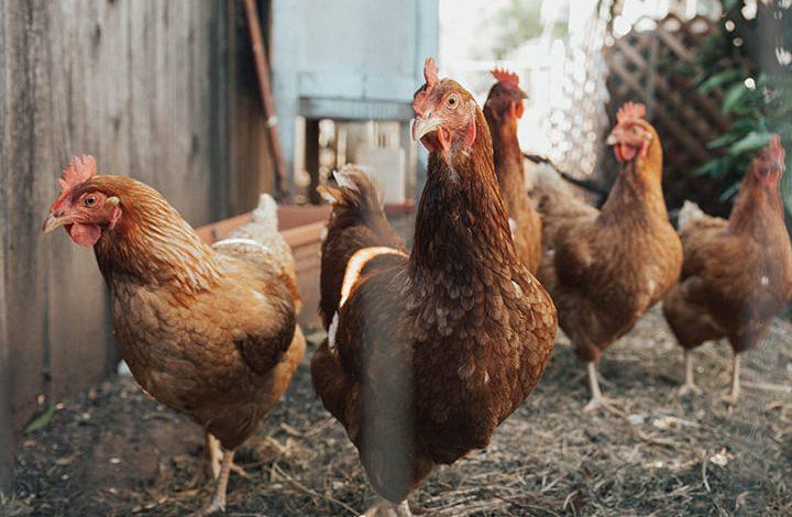 رؤية الدجاج في المنام للعزباء