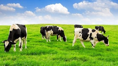 تفسير حلم البقرة السوداء للعزباء
