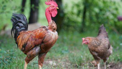 تفسير رؤية الدجاج الحي في المنام