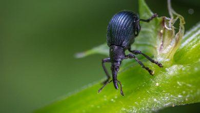 ما هى حشرة السوس والسحر