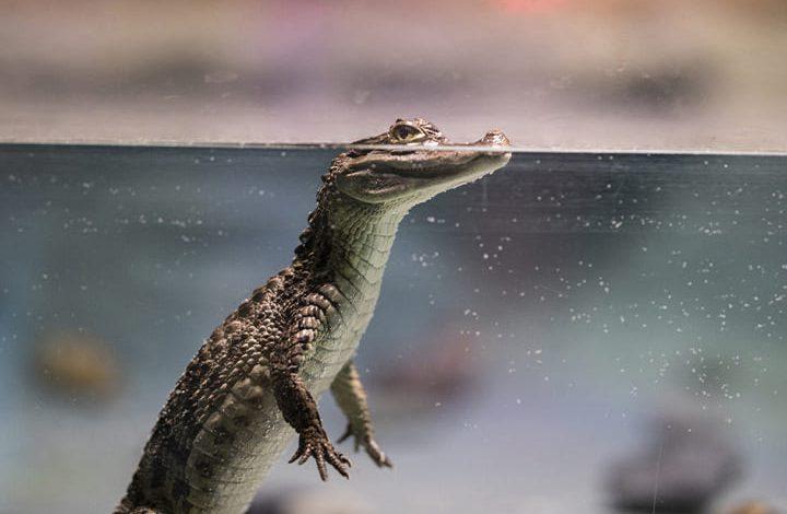 تمساح صغير في المنام