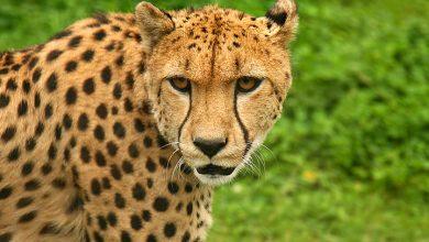 تفسير رؤية الفهد في المنزل في المنام
