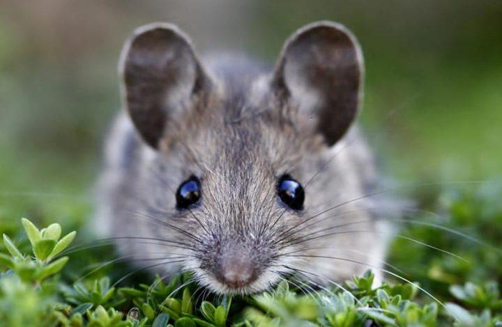 خروج الفأر من الفم في المنام