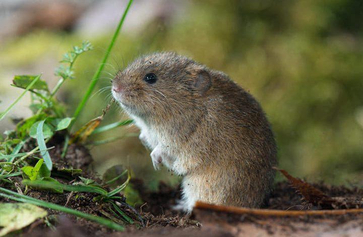 تفسير رؤية الفأر الرمادي في المنام