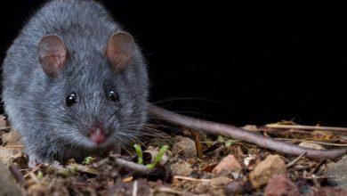 حلم خروج الفأر من الفم في المنام