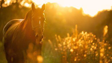 هجوم الحصان في المنام