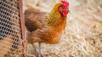 تفسير رؤية أرجل الدجاج في المنام