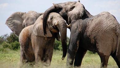 بكاء الفيل في منام العزباء