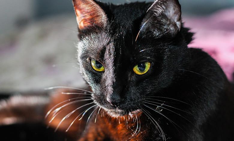 تفسير حلم قطة سوداء تلاحقني للعزباء