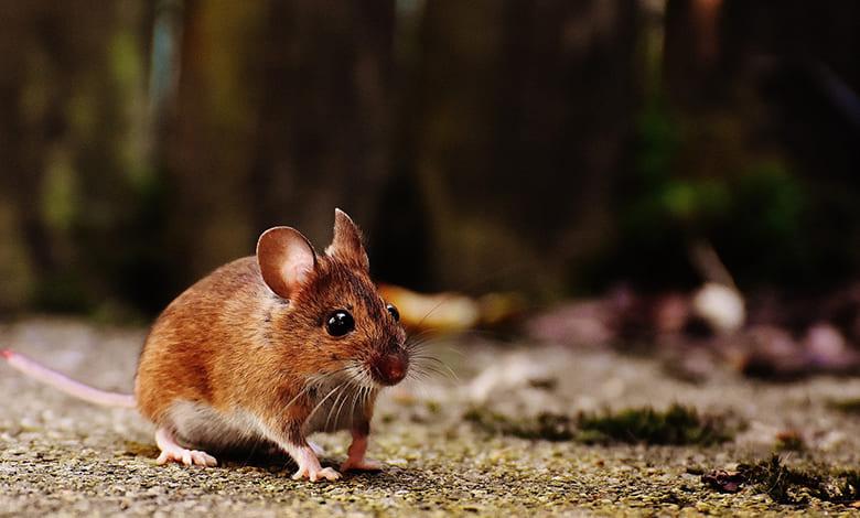 وجود الفئران في البيت والسحر