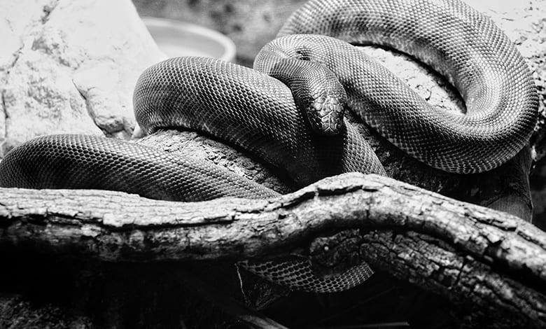 تفسير حلم الثعبان الاسود