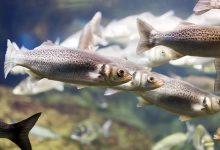 تفسير حلم السمك البوري النى