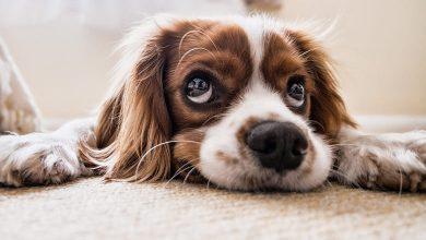 تفسير حلم الكلاب في المنام