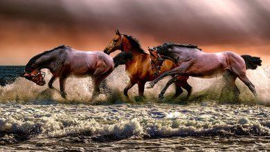 تفسير حلم حصان أسود يلاحقني للعزباء