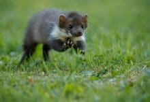 تفسير رؤية الفأر الرمادي في المنام وقتلة للعزباء