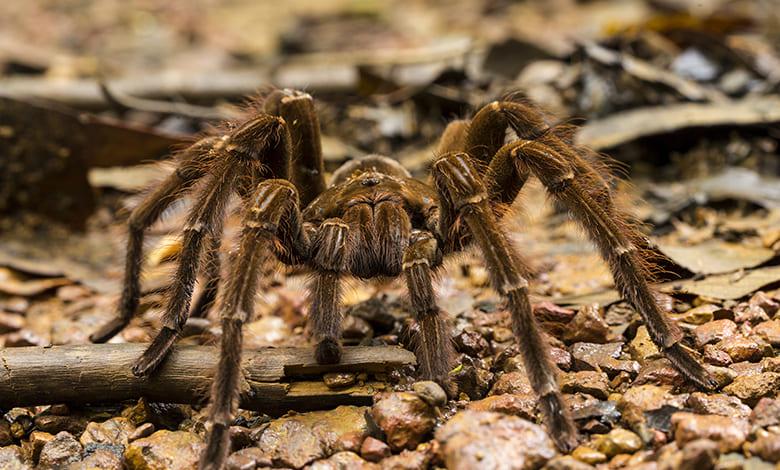 تفسير حلم العنكبوت الاسود