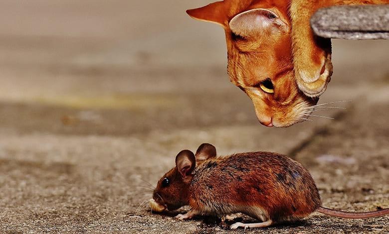 تفسير حلم الفئران الصفراء