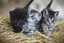 تفسير رؤية القط يطارد فأر في المنام للعزباء