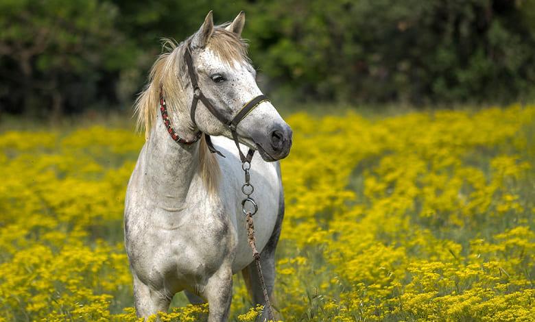 الهروب من الحصان في المنام للمتزوجة